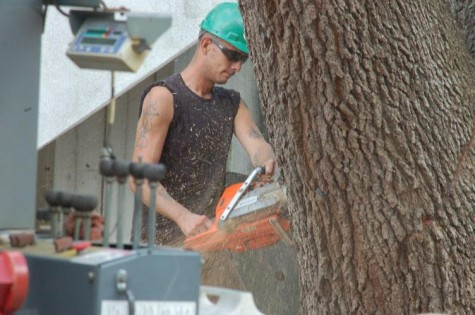 University removes 100-year-old oak
