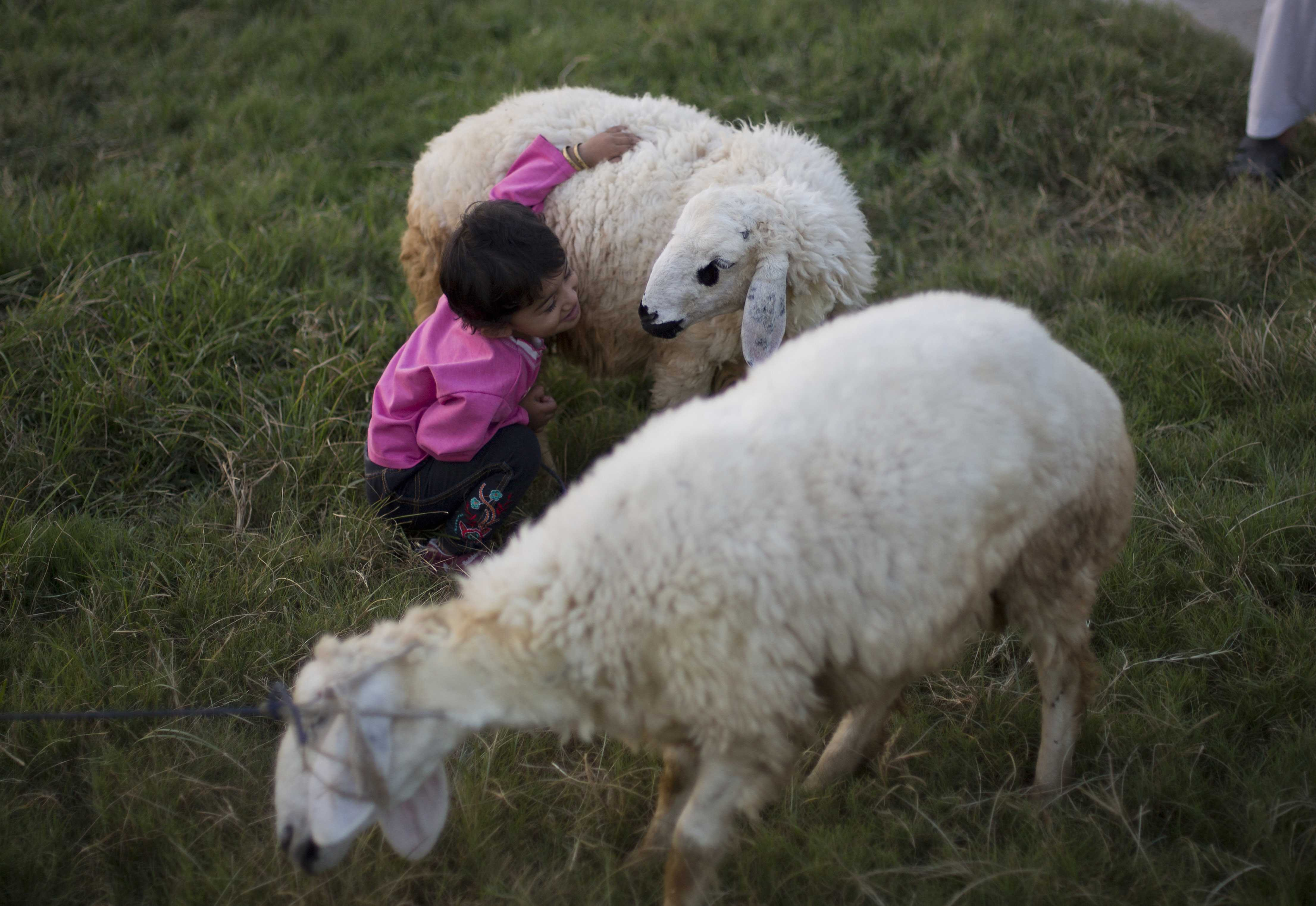 A Pakistani child plays with a sheep bought to be sacrificed on the upcoming Muslims' festival Eid-al-Adha, Tuesday, Sept. 15, 2015 in Islamabad, Pakistan. Muslims all over the world celebrate the three-day festival Eid-al-Adha, by sacrificing sheep, goats, and cows to commemorate the willingness of the Prophet Ibrahim (Abraham to Christians and Jews) to sacrifice his son, Ismail, on God's command. (AP Photo/B.K. Bangash)