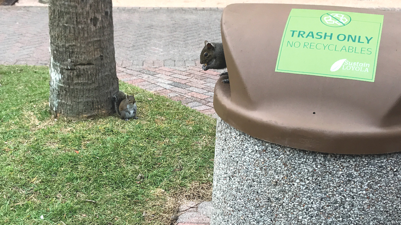 A squirrel eats food from a Palm Court garbage can on Loyola's Campus in New Orleans, La.,  while their obese-looking counterpart lurks in the background on Nov. 29, 2017. The campus is home to many squirrels, who often dig into the garbage for food. Photo credit: Nick Reimann