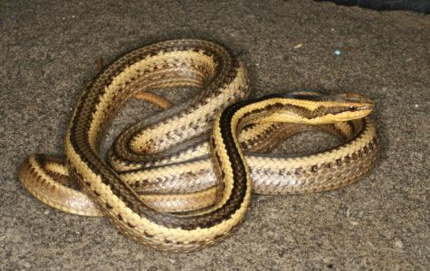 New snake species named after Loyola professor