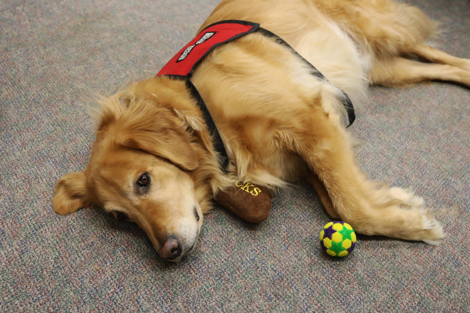 Beau relaxes while students study in the honors office on the first floor of Monroe Library. Although he used to suffer from anxiety, Beau now acts as an emotional support dog for Loyola students. Photo credit: Andres Fuentes