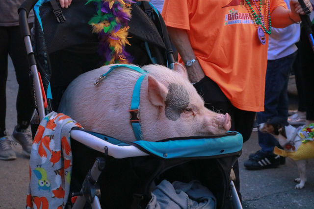 Hank+the+pig+strolls+past+everyone+like+the+star+that+he+is.