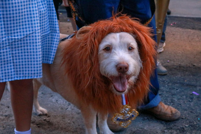 The+cowardly+Lion+finally+gets+the+courage+to+walk+in+the+parade+with+Dorothy+and+their+group.
