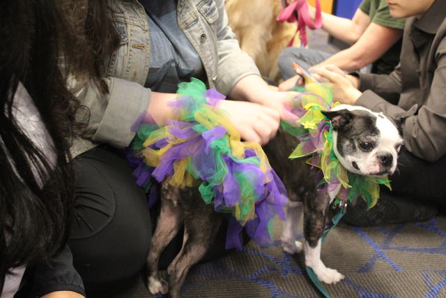 Voodoo%2C+the+french+bulldog%2C+meets+Loyola+students+while+decked+out+and+ready+for+Mardi+Gras.