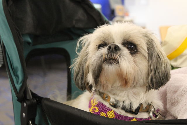 An+elderly+Shih+Tzu+sits+in+her+stroller+during+a+visit+to+Loyola+as+part+of+Wolf+Pack+Wednesday%27s+partnership+with+the+Visiting+Pet+Program.