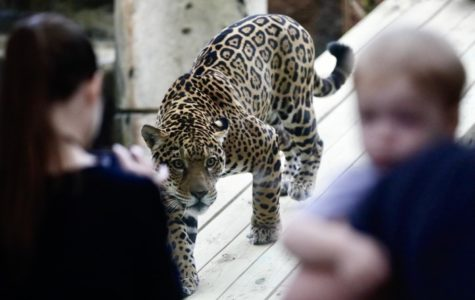Audubon welcomes Valerio back into Jaguar Jungle