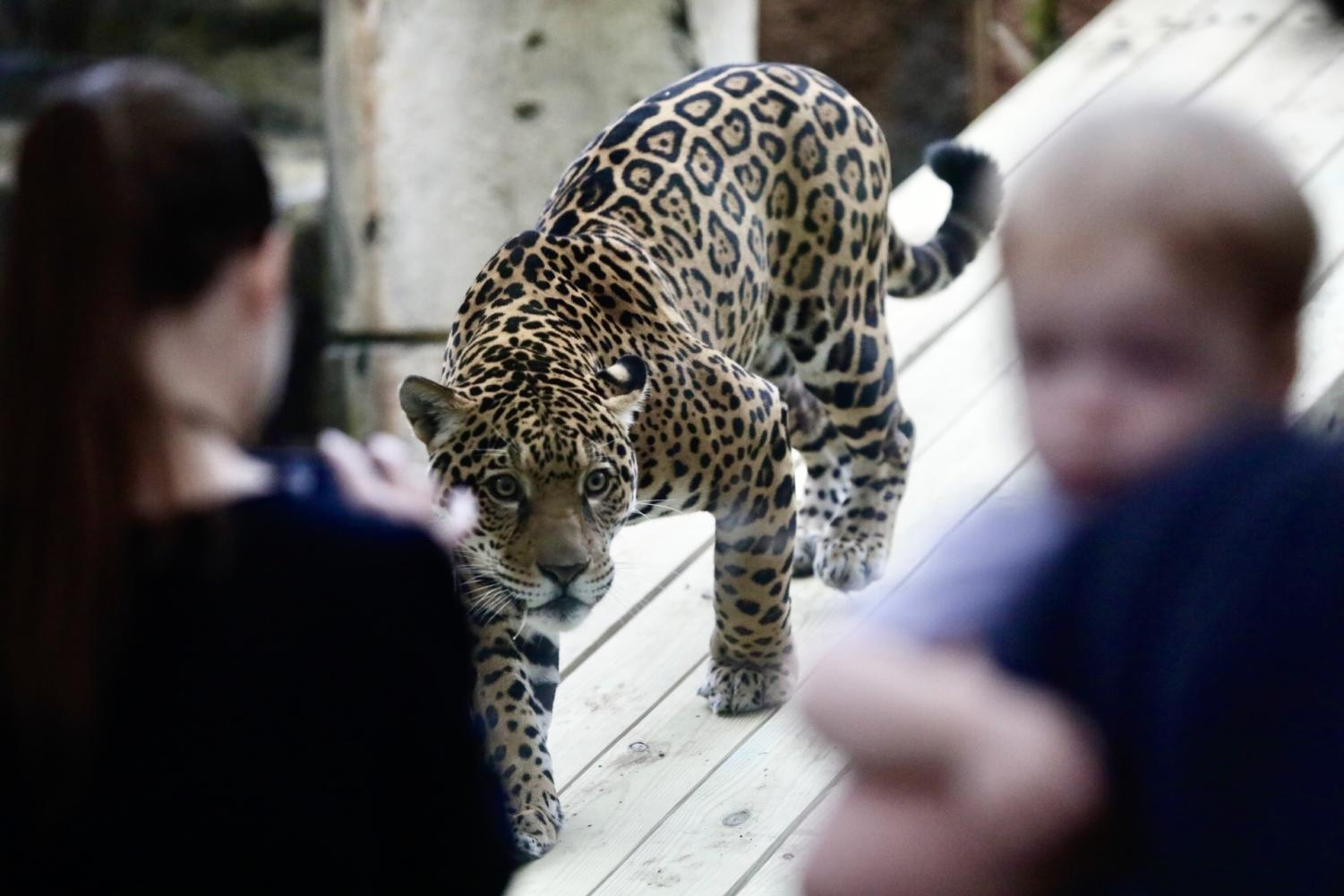 Valerie the Jaguar roaming his enclosure with Audubon Zoo attendants watching. Photo credit: Andres Fuentes
