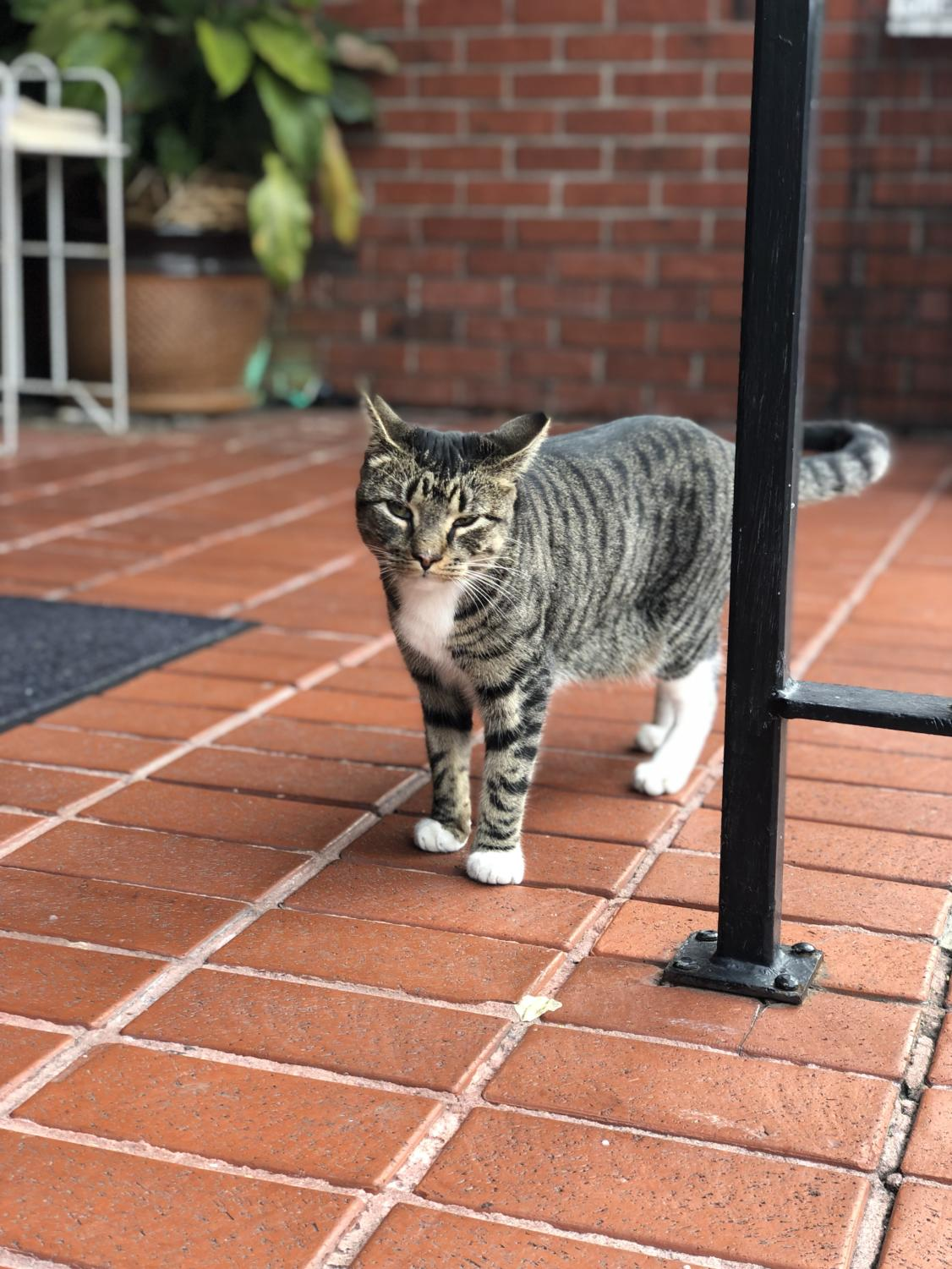 Popcorn, or Poppy, is a one-and-a-half-year-old gray tabby who has become infamous at the Prytania Theatre. When she went missing in late January,  Poppy grabbed the attention of New Orleans Uptown. Photo Courtesy of Paige Brunet.