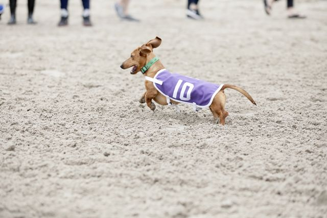 A+dog+gallops+toward+the+finish+line+during+his+race.+The+wiener+dogs+competed+in+12-dog+heats.