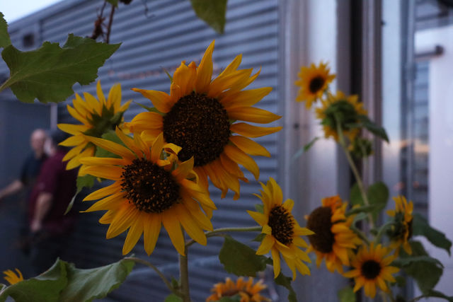Sunflowers+bloom+in+the+greenhouse+on+the+roof+of+Monroe+Hall.+They+are+one+of+the+many+varieties+of+flowers+fostered+in+the+garden.