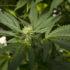 Medical marijuana debate lights up Louisiana